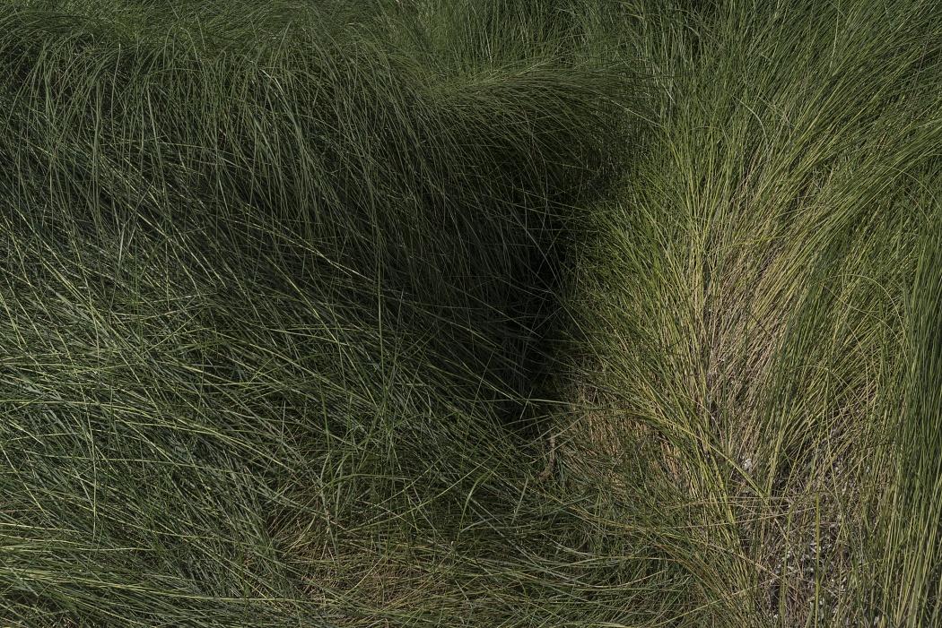 Vegetazione della duna, Torre Guaceto, riserva naturale e area protetta di interessa nazionale, Carovigno (Br)  - Dettaglio vegetazione(gramigna) della duna , Torre Guaceto, riserva naturale e area protetta di interessa nazionale, Carovigno (Brindisi)
